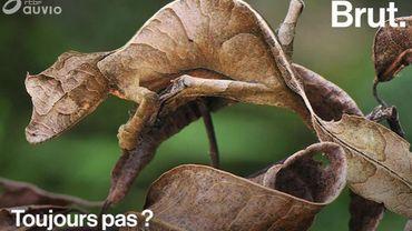 Le gecko satanique à queue de feuille: un lézard insolite maître du camouflage