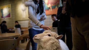 Corée du Sud : un bar où les moutons sont roi