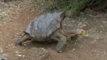 Une tortue de l'espèce Chelonoidis hodensis aux Galapagos, en 2016