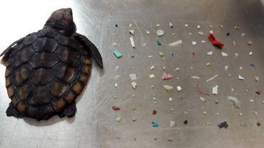 La tortue avec les fragments de plastique trouvés dans son estomac