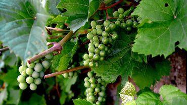 Vin de Liège est un projet d'économie sociale, respectueux de l'environnement
