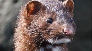 Virton: une motion d'écolo contre l'élevage d'animaux pour leur fourrure