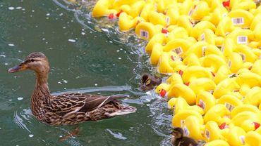 4ème édition des Ducks Day, 12.500 canards en plastique seront lâchés dans la Dérivation à la Boverie pour une bonne cause
