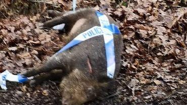 Un sanglier renversé et abandonné au bord de la route