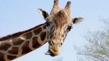 Verra-t-on une girafe sur les hauteurs de Namur prochainement? Benoit Gersdorff annonce son arrivée pour fin février