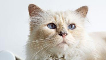 """Choupette a collaboré avec la marque LucyBalu pour la sortie du hamac pour chat """"SWING""""."""