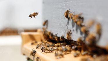 Des vandales tuent 60.000 abeilles en détruisant des ruches dans une réserve naturelle flamande et