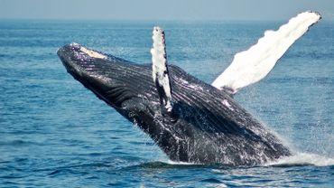 Quand les éruptions solaires déboussolent les baleines