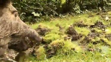 Les sangliers détruisent les pelouses sur leur passage
