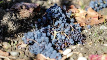 """Le réchauffement climatique pourrait entraîner le développement des vins tranquilles (blanc et rouge)"""" alors que pour le moment, le climat belge convient mieux à des vins blancs effervescents""""."""