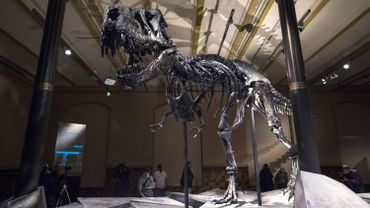 """L'exposition temporaire baptisée """"Tristan"""", qui ouvre ses portes le 17 décembre, donne à voir le squelette du prédateur et son crâne, conservé à 98%"""