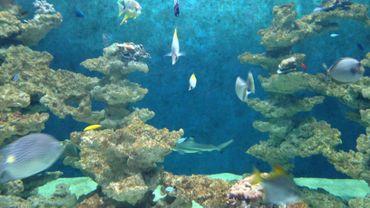 Trois jeunes requins sont hébergés à l'Aquarium-Museum de Liège.