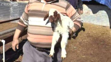 Ce mouton est né avec deux pattes, ce qui ne l'a pas empêché de marcher avec un certain style