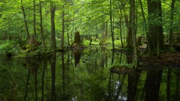 Forêt de Bialowieza, dernière forêt primaire d'Europe