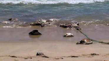 """Mexique: 292 tortues meurent victimes d'une """"marée rouge"""""""