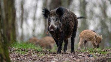 Peste porcine: les sangliers de la zone de sécurité seront aussi éradiqués