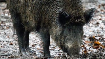 Peste porcine: le garde-chasse privé reste en prison