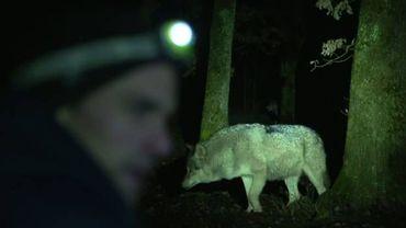 Les medias de la RTBF partent sur les traces des loups en Wallonie