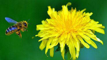 Chine: faute d'abeilles, les hommes pollinisent les arbres à la main