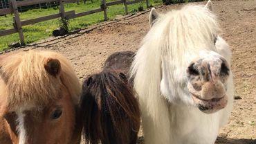 Acte malveillant? Un poney sans vie repêché dans une piscine à Zottegem