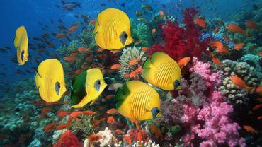 Le réchauffement des océans pourrait altèrer la perception des couleurs de certaines espèces sous-marines.