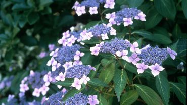 Une des plantes fétiches de Claudine et David : l'hydrangea