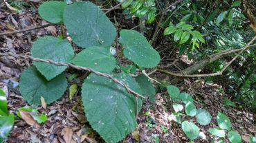 Cette sorte d'ortie, que l'on trouve également dans certaines forêts des Etats-Unis et d'Europe, est connue sous le nom indigène de gympie-gympie.