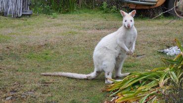 Illustration - Un wallaby albinos s'est échappé à Bercheux.