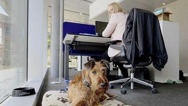 Admis au bureau, les chiens augmentent le bien-être au travail