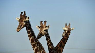 """Généralement considérée comme muette, la girafe émet en réalité un bruit, exclusivement nocturne, que des chercheurs ont qualifié de """"bourdonnement""""."""
