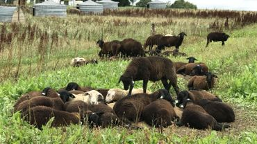 Les prairies suffisent amplement pour nourrir les moutons et agneaux toute l'année à la ferme bio des Crutins à Vresse-sur-Semois. En arrière-fond les cabanes pour la mise bas des cochons
