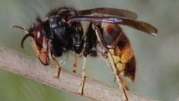 Un frelon asiatique mangeur d'abeilles photographié dans le Hainaut par Olivier Wauquier