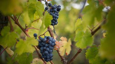l'Italie devrait maintenir sa place de premier producteur mondial.        La production mondiale de vin recule de 5% en 2016