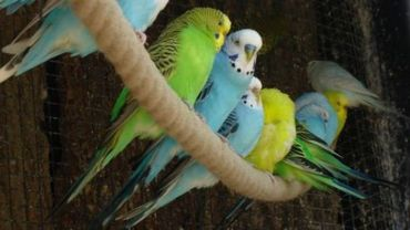 Les perruches envahissent les parcs bruxellois : trop is te veel !