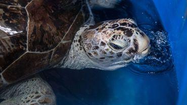 La tortue thaïlandaise qui avait avalé 915 pièces est morte