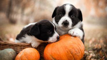 Après Halloween, ne jetez pas vos citrouilles, donnez les restes comestibles aux animaux