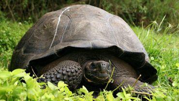 Une tortue géante dans le Parc national des Galapagos en octobre 2015