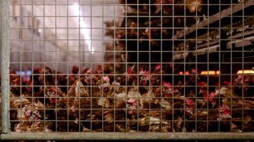 Grippe aviaire : les Pays-Bas abattent 190.000 poulets dans deux élevages