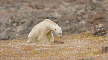 Réchauffement climatique: les images déchirantes d'un ours polaire à l'agonie