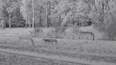 Le couple de loups Noëlla et August a mis au monde quatre louveteaux