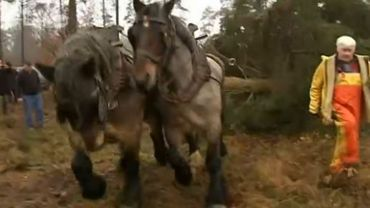 Les arbres ont été débardés par des chevaux de trait qui ont ensuite symboliquement effectué les premiers mètres en direction d'Oostduinkerke en tirant les sapins placés sur des charrettes.