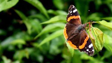 Parmi les 1700 espèces, de nombreux papillons, diurnes et nocturnes