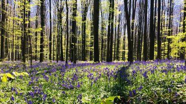 Bois de Hal et son tapis fleuri.