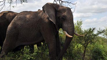 Un braconnier meurt écrasé par un éléphant, puis dévoré par des lions