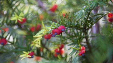 Hausse des empoisonnements par plantes vénéneuses