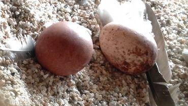 Ces deux œufs de faucons devraient bientôt être rejoints par deux autres, la femelle pondant généralement quatre œufs sur plusieurs jours.