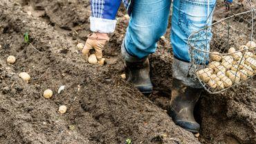 A la Saint Joseph, on plante des pommes de terre pour en récolter à profusion à l'aube de l'été