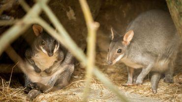 Le zoo d'Anvers accueille de nouveaux pensionnaires: des pademelons