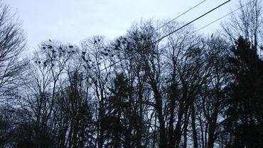 Plus de 80 nids et des centaines de corbeaux freux (espèce protégée)... empoisonnent la vie d'habitants du centre de Sombreffe. Les croassements durent depuis plus de 8 ans