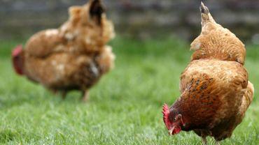 La Wallonie adopte 14 mesures pour le bien-être animal, finies les poules en cage